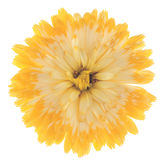 Calendula Royalty Free Stock Photo