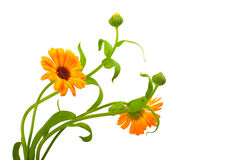 Calendula. Flowers in white background Royalty Free Stock Photography