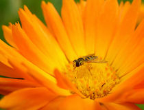 Calendula. And a fly Royalty Free Stock Photography