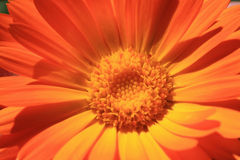 Calendula. Orange flower in macro Royalty Free Stock Image