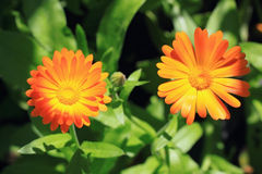 Calendula Royalty Free Stock Photos