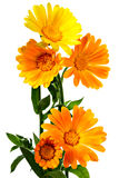 Calendula. Orange flowers of calendula on a white background Royalty Free Stock Photos