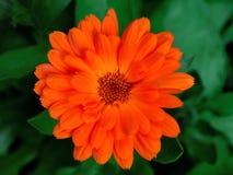 Calendula Royaltyfria Bilder
