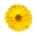 Calendula. Flower of calendula isolated on a white background Royalty Free Stock Photo