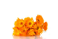 Calendula Fotos de Stock Royalty Free