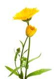 Calendula στοκ εικόνες