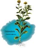 Calendula Стоковые Фотографии RF