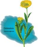 Calendula Стоковые Изображения RF
