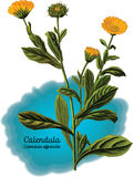 Calendula Photo stock
