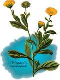 Calendula Стоковое Фото
