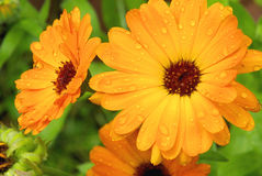 Calendula. Orange flower with raindrops, calendula Stock Photos