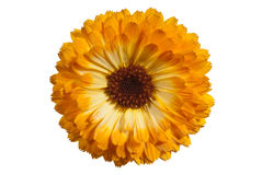 Calendula. ( officinalis) flower on white Stock Photo