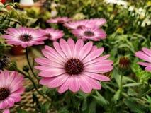 Calendula Photo stock