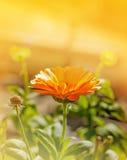 Calendula anaranjado Imagen de archivo