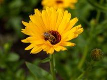 Calendula anaranjado brillante Officinalis de la maravilla de la flor Foto de archivo libre de regalías