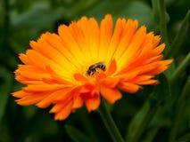 Calendula anaranjado brillante Officinalis de la maravilla de la flor Fotografía de archivo