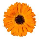 Calendula arancio su fondo bianco Immagini Stock