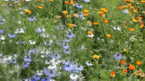 Medicinal plant calendula and nigella in country. stock footage