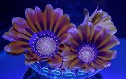 Calendula-arvensis Stock Foto's