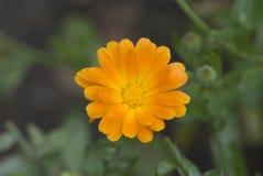 Calendula (Asteraceae d'officinalis de Calendula) Image stock