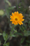 Calendula (Asteraceae dos officinalis do Calendula) 01 Imagem de Stock