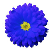 Calendula azul da flor Fundo isolado branco com trajeto de grampeamento Foto de Stock Royalty Free