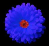 Calendula azul da flor o fundo isolado preto com trajeto de grampeamento Foto de Stock