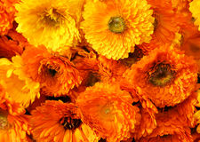 Calendula background Royalty Free Stock Image