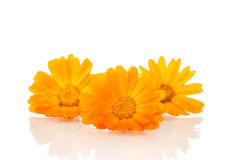 Calendula. Beautiful blooming orange calendula on white background Royalty Free Stock Photo