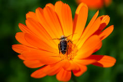 Calendula and bee Stock Image