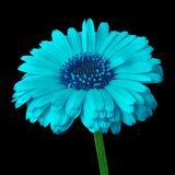 Calendula bleu cyan de fleur, d'isolement sur un fond noir Plan rapproché photo libre de droits