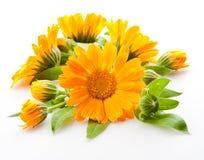 Calendula. blommor med lämnar på vit royaltyfria bilder
