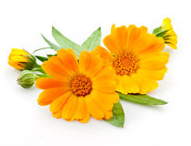 Calendula. blommor med sidor på vit Royaltyfria Foton