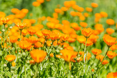 Calendula blooming in the garden. Orange flowers and green leaves. Vegetable background Stock Photos