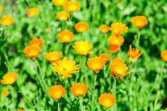 Calendula blooming in the garden. Orange flowers and green leaves. Vegetable background Stock Images