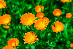 Calendula blooming in the garden. Orange flowers and green leaves. Vegetable background Stock Photography