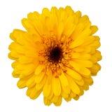 Calendula blossom Royalty Free Stock Photography