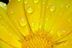 Calendula-Blume Lizenzfreies Stockbild