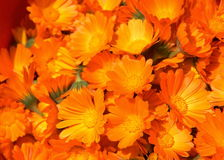Calendula-Blumen stockbild