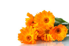 Calendula Stock Photos