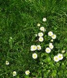 Calendula branco - prado floresce - Ile de Puteaux, França Fotos de Stock