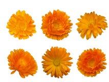 Calendula  - bright beautiful orange flower Stock Photos