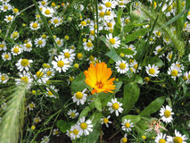 Calendula and Chamomile Royalty Free Stock Photos