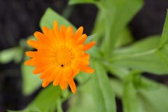 Calendula. City lungs for people`s health. Greenery of the urban courtyard. Calendula. City lungs for people`s health. Ways to prevent soil erosion in town Royalty Free Stock Photography