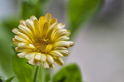 Calendula close up Royalty Free Stock Image