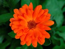 Calendula Royalty Free Stock Images