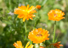 Calendula con una abeja Imagen de archivo libre de regalías
