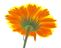 Calendula contre le soleil Photo stock