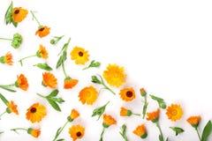 Calendula De bloem van de goudsbloem die op witte Achtergrond wordt geïsoleerd Hoek met exemplaarruimte voor uw tekst Hoogste men Royalty-vrije Stock Foto's