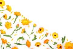 Calendula De bloem van de goudsbloem die op witte Achtergrond wordt geïsoleerd Hoek met exemplaarruimte voor uw tekst Hoogste men Royalty-vrije Stock Fotografie